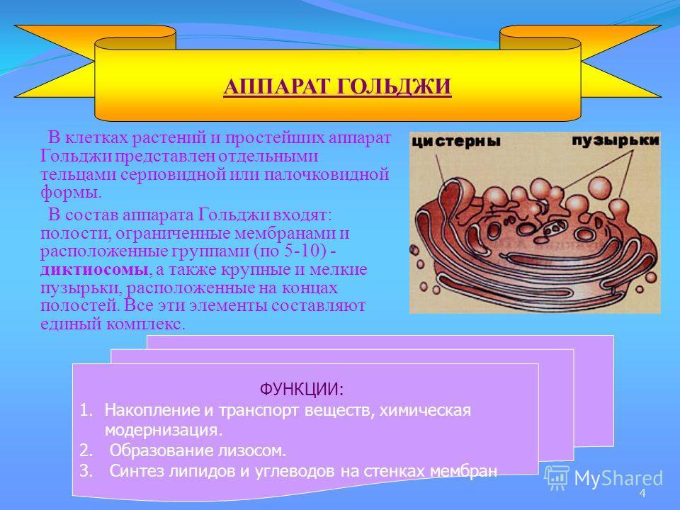 В клетках растений и простейших аппарат Гольджи представлен отдельными тельцами серповидной или палочковидной формы. В состав аппарата Гольджи входят: полости, ограниченные мембранами и расположенные группами (по 5-10) - диктиосомы, а также крупные и