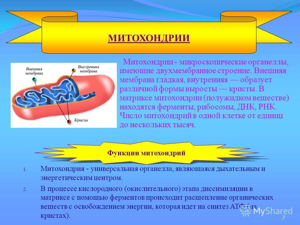 Митохондрии - микроскопические органеллы, имеющие двухмембранное строение. Внешняя мембрана гладкая, внутренняя образует различной формы выросты кристы. В матриксе митохондрии (полужидком веществе) находятся ферменты, рибосомы, ДНК, РНК. Число митохо