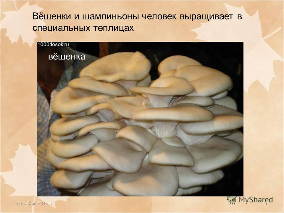 6 ноября 2013 г.16 Вёшенки и шампиньоны человек выращивает в специальных теплицах вёшенка