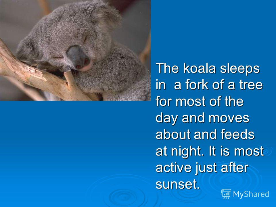 The koala sleeps in a fork of a tree for most of the day and moves about and feeds at night. It is most active just after sunset.