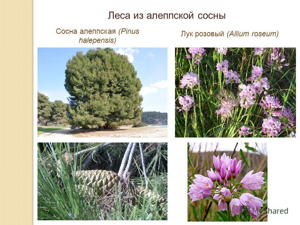 Леса из алеппской сосны Сосна алеппская (Pinus halepensis) Лук розовый (Allium roseum)