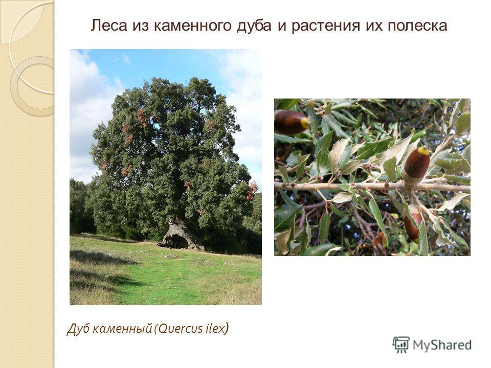Дуб каменный (Quercus ilex ) Леса из каменного дуба и растения их полеска