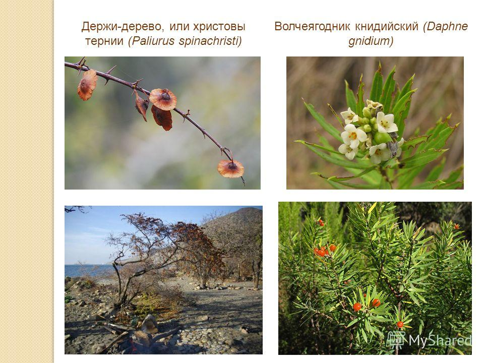 Держи-дерево, или христовы тернии (Paliurus spinachristi) Волчеягодник книдийский (Daphne gnidium)