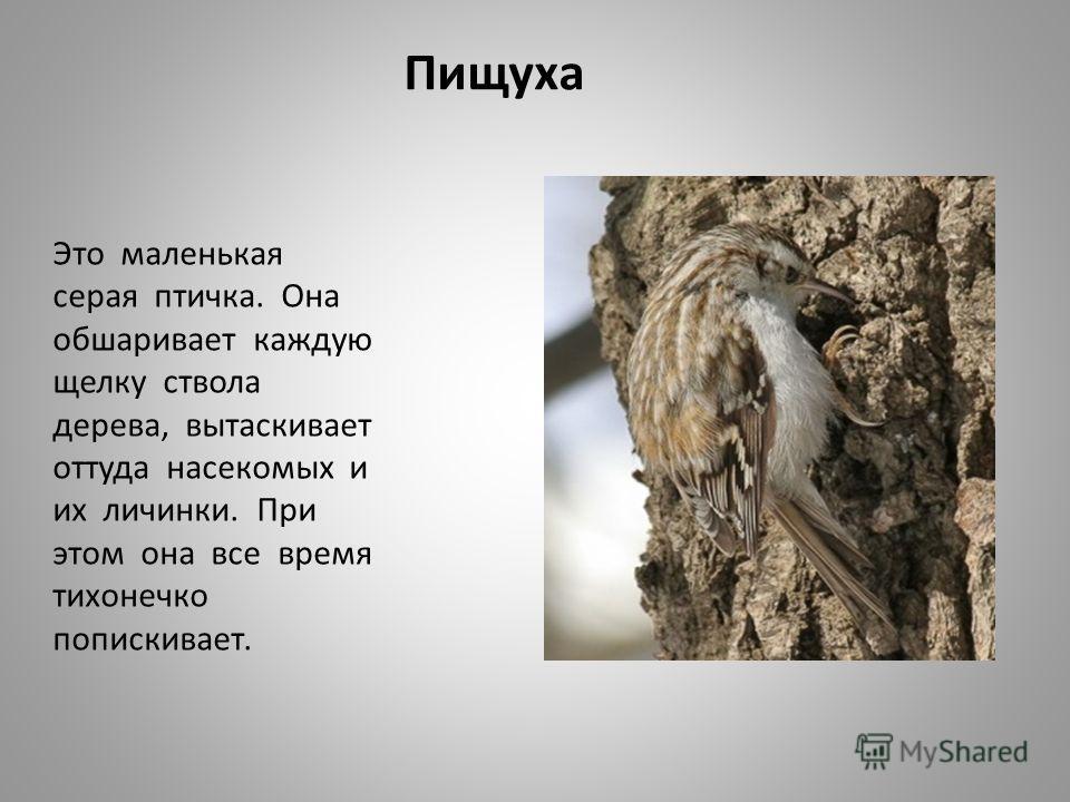 Пищуха Это маленькая серая птичка. Она обшаривает каждую щелку ствола дерева, вытаскивает оттуда насекомых и их личинки. При этом она все время тихонечко попискивает.