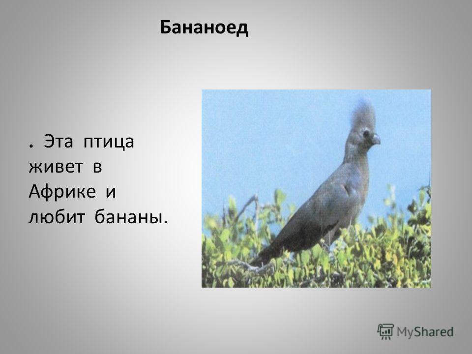 Бананоед. Эта птица живет в Африке и любит бананы.