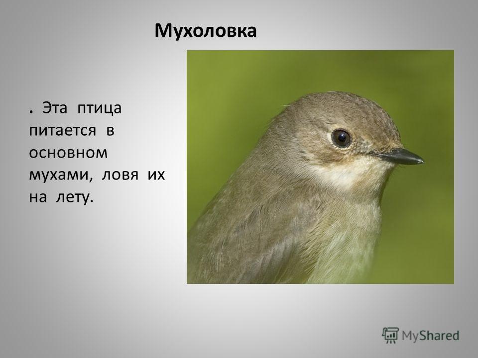 Мухоловка. Эта птица питается в основном мухами, ловя их на лету.