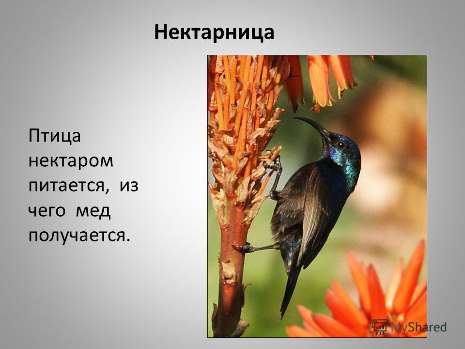 Нектарница Птица нектаром питается, из чего мед получается.