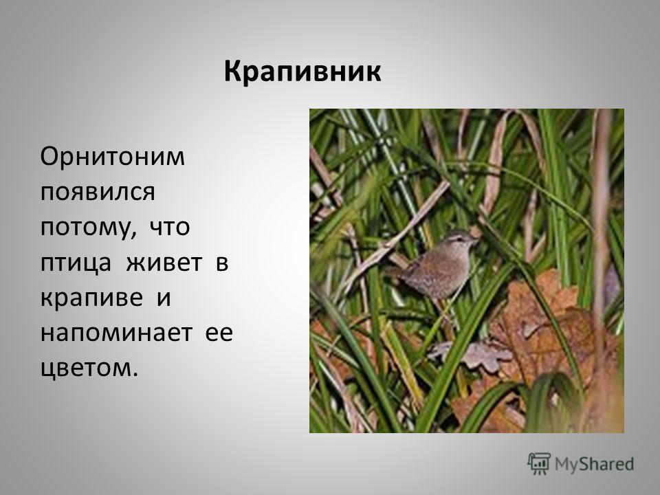 Крапивник Орнитоним появился потому, что птица живет в крапиве и напоминает ее цветом.