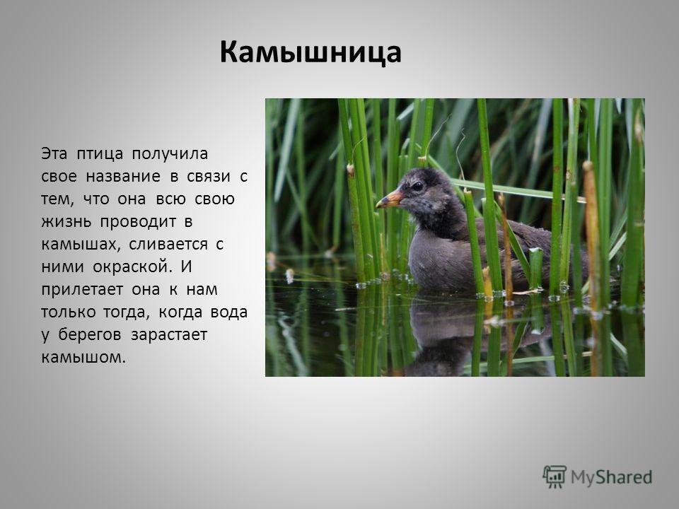 Камышница Эта птица получила свое название в связи с тем, что она всю свою жизнь проводит в камышах, сливается с ними окраской. И прилетает она к нам только тогда, когда вода у берегов зарастает камышом.