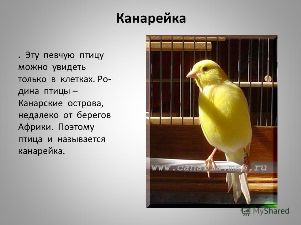 Канарейка. Эту певчую птицу можно увидеть только в клетках. Ро- дина птицы – Канарские острова, недалеко от берегов Африки. Поэтому птица и называется канарейка.