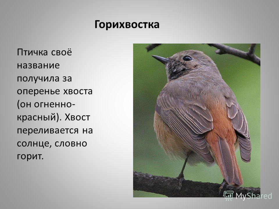 Горихвостка Птичка своё название получила за оперенье хвоста (он огненно- красный). Хвост переливается на солнце, словно горит.