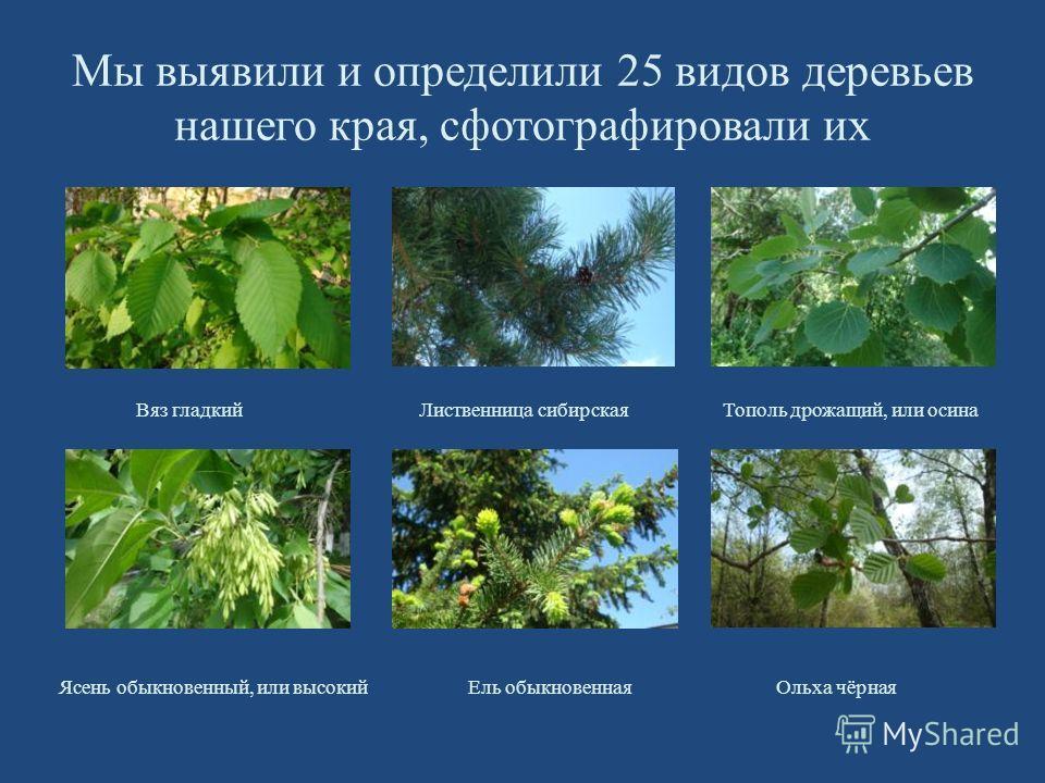 Мы выявили и определили 25 видов деревьев нашего края, сфотографировали их Вяз гладкий Лиственница сибирская Тополь дрожащий, или осина Ясень обыкновенный, или высокий Ель обыкновенная Ольха чёрная