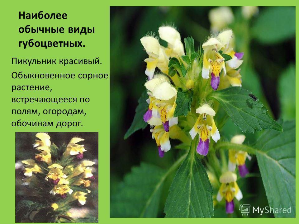 Наиболее обычные виды губоцветных. Пикульник красивый. Обыкновенное сорное растение, встречающееся по полям, огородам, обочинам дорог.