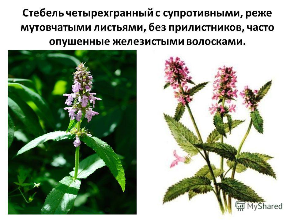 Стебель четырехгранный с супротивными, реже мутовчатыми листьями, без прилистников, часто опушенные железистыми волосками.