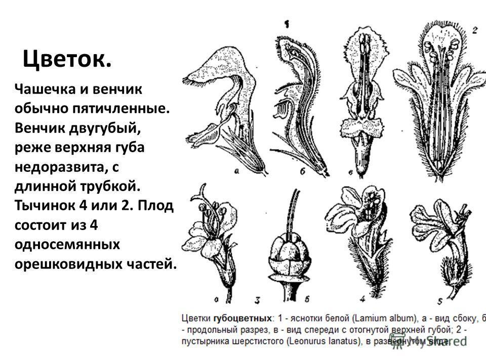 Цветок. Чашечка и венчик обычно пятичленные. Венчик двугубый, реже верхняя губа недоразвита, с длинной трубкой. Тычинок 4 или 2. Плод состоит из 4 односемянных орешковидных частей.