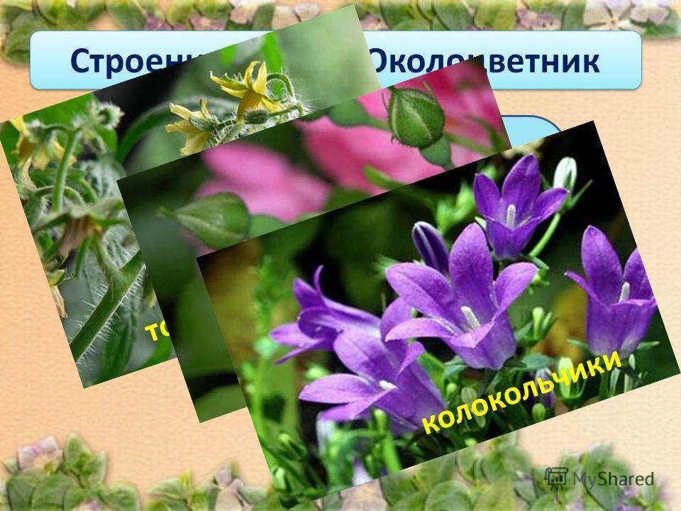 Если околоцветник состоит из чашечки и венчика, то его называют двойным. Строение цветка. Околоцветник томаты розы колокольчики