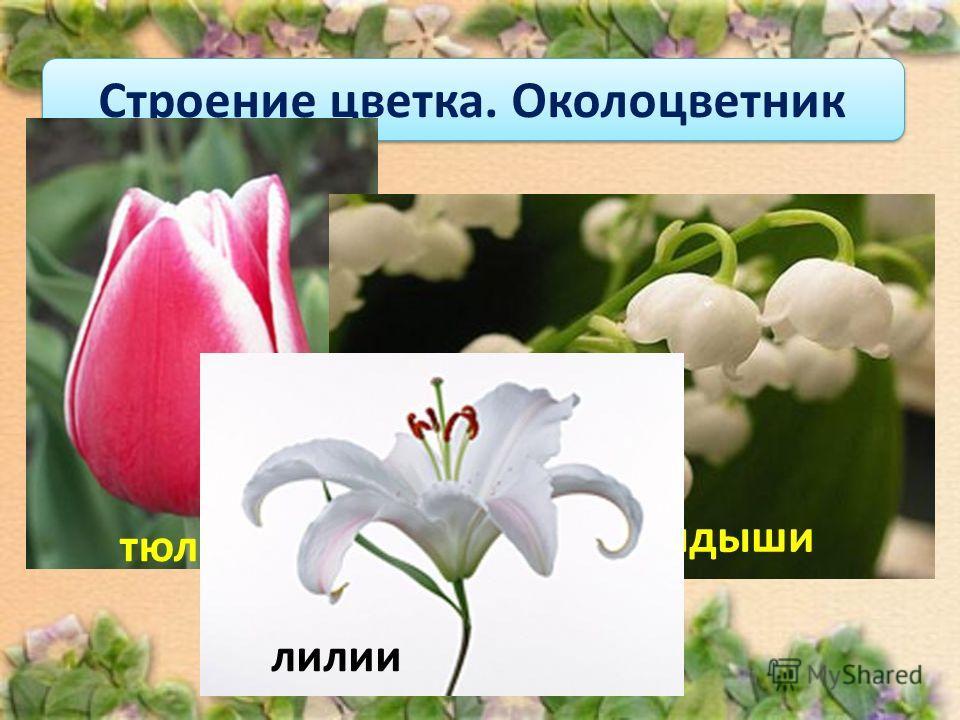 Если околоцветник состоит только из чашечки, то такой околоцветник называют простым. Строение цветка. Околоцветник тюльпан ландыши лилии