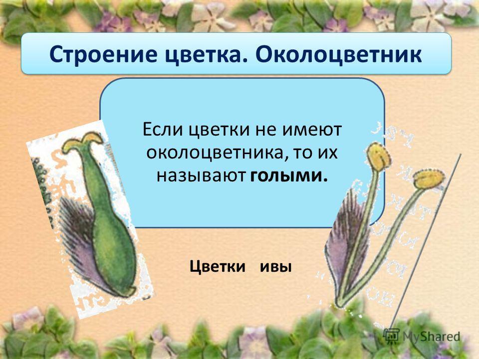 Строение цветка. Околоцветник Если цветки не имеют околоцветника, то их называют голыми. Цветки ивы