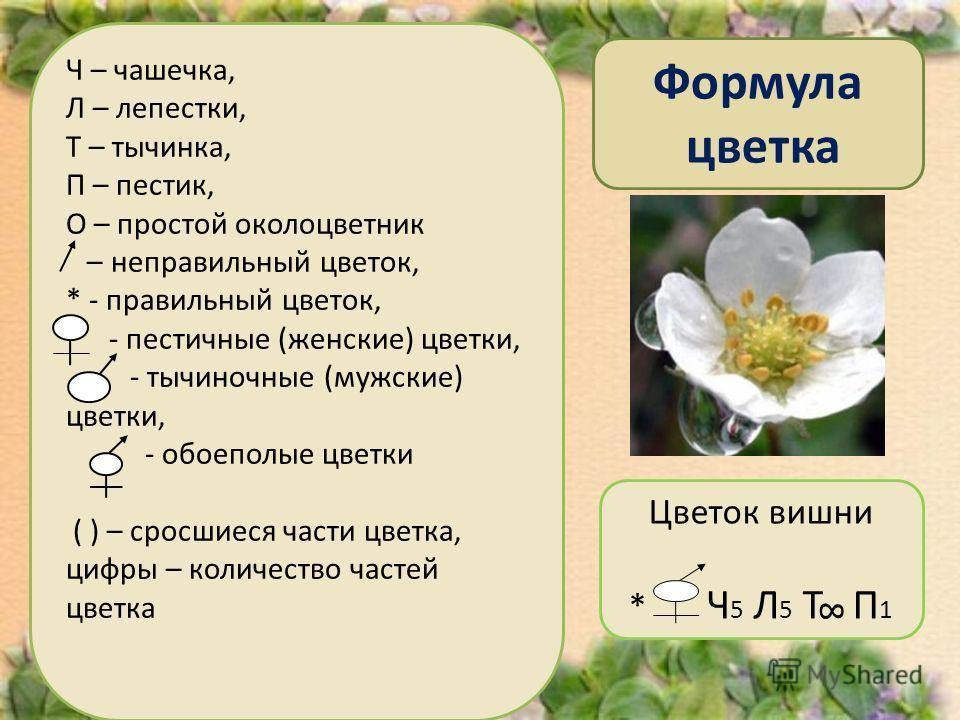 Формула цветка Ч – чашечка, Л – лепестки, Т – тычинка, П – пестик, О – простой околоцветник – неправильный цветок, * - правильный цветок, - пестичные (женские) цветки, - тычиночные (мужские) цветки, - обоеполые цветки ( ) – сросшиеся части цветка, ци