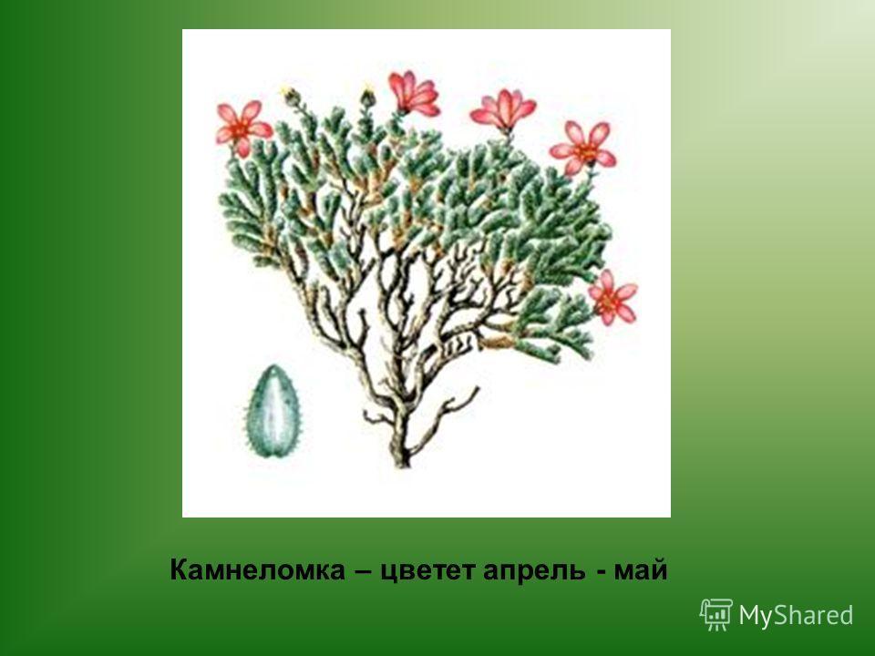 Камнеломка – цветет апрель - май