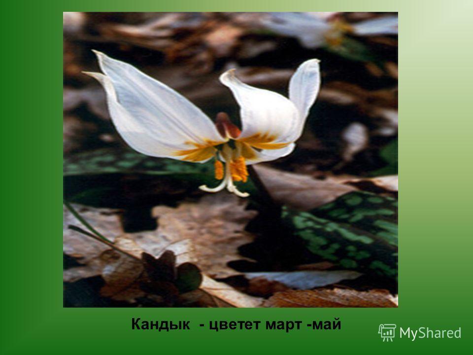 Кандык - цветет март -май
