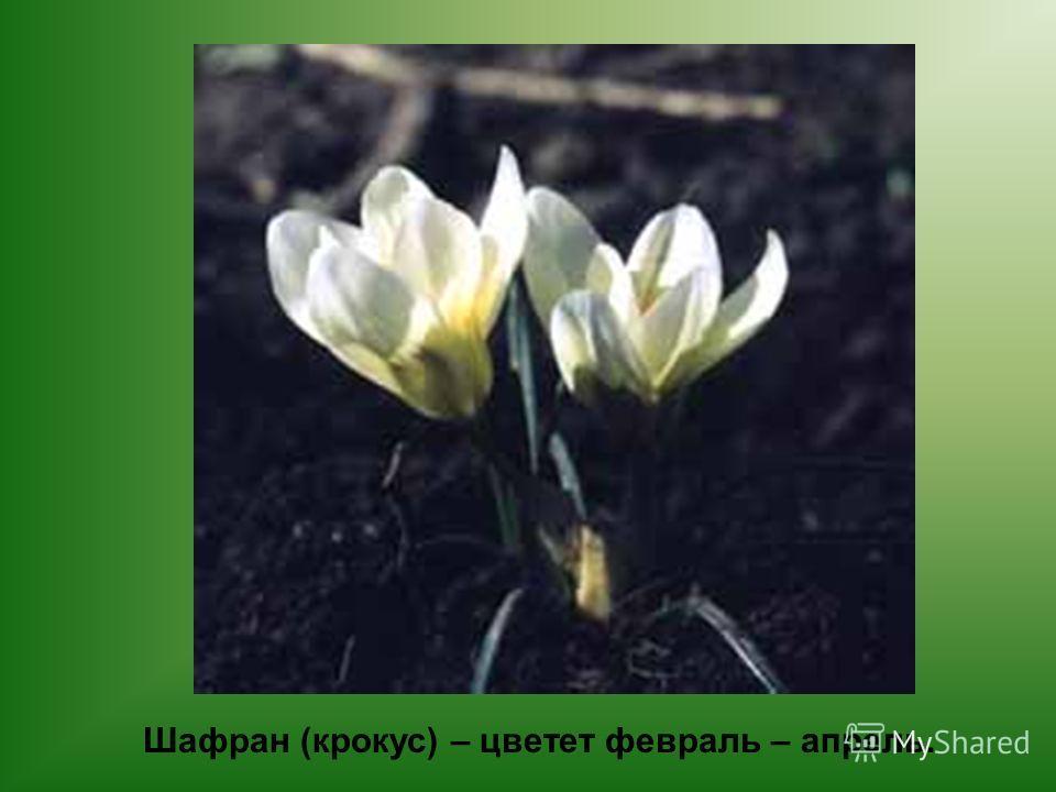 Шафран (крокус) – цветет февраль – апрель.