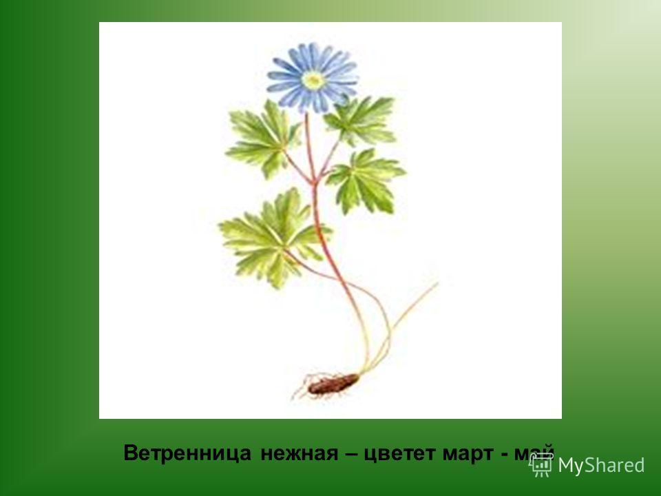 Ветренница нежная – цветет март - май
