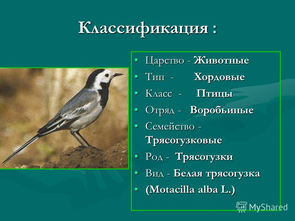 Классификация : Царство - Животные Тип - Хордовые Класс - Птицы Отряд - Воробьиные Семейство - Трясогузковые Род - Трясогузки Вид - Белая трясогузка (Motacilla alba L.)