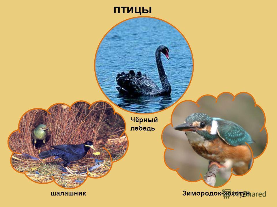 птицы Чёрный лебедь шалашникЗимородок-хохотун