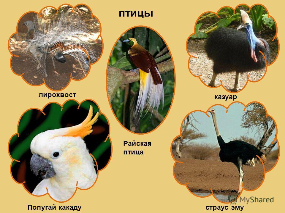 птицы лирохвост казуар Попугай какадустраус эму Райская птица