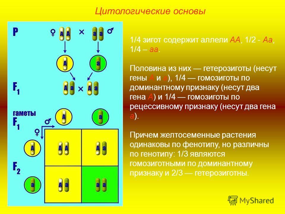 1/4 зигот содержит аллели АА, 1/2 - Аа, 1/4 – аа. Половина из них гетерозиготы (несут гены А и а), 1/4 гомозиготы по доминантному признаку (несут два гена А) и 1/4 гомозиготы по рецессивному признаку (несут два гена а). Причем желтосеменные растения
