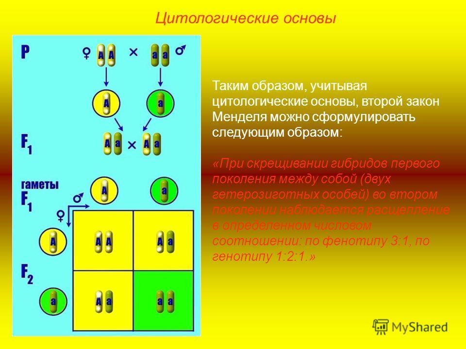 Таким образом, учитывая цитологические основы, второй закон Менделя можно сформулировать следующим образом: «При скрещивании гибридов первого поколения между собой (двух гетерозиготных особей) во втором поколении наблюдается расщепление в определенно