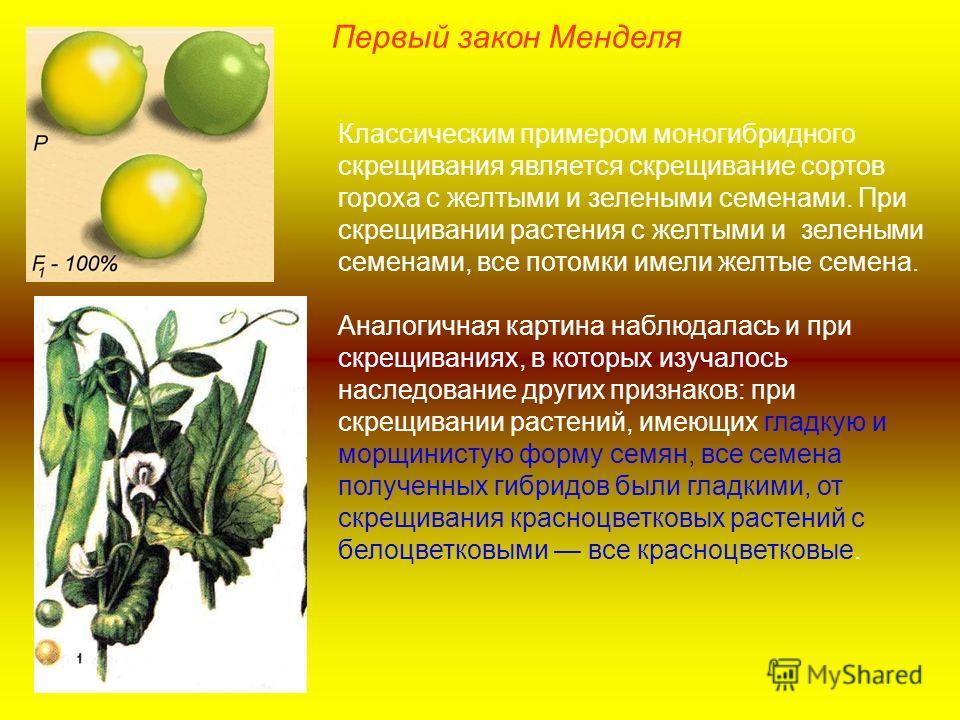 Первый закон Менделя Классическим примером моногибридного скрещивания является скрещивание сортов гороха с желтыми и зелеными семенами. При скрещивании растения с желтыми и зелеными семенами, все потомки имели желтые семена. Аналогичная картина наблю