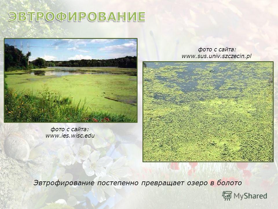фото с сайта: www.ies.wisc.edu фото с сайта: www.sus.univ.szczecin.pl Эвтрофирование постепенно превращает озеро в болото