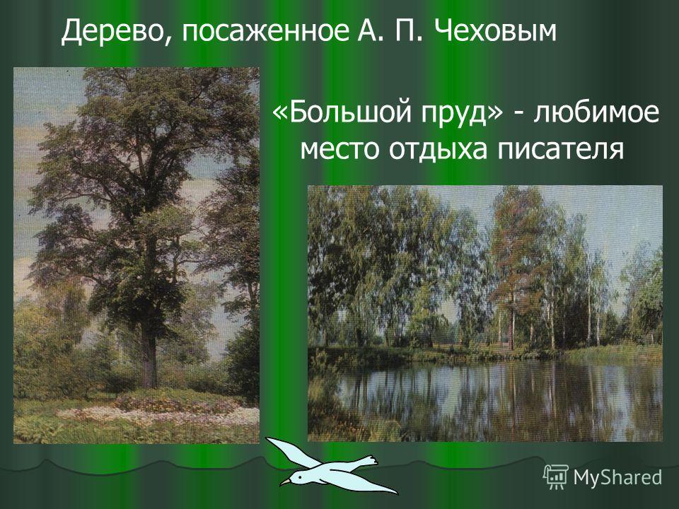 Дерево, посаженное А. П. Чеховым «Большой пруд» - любимое место отдыха писателя