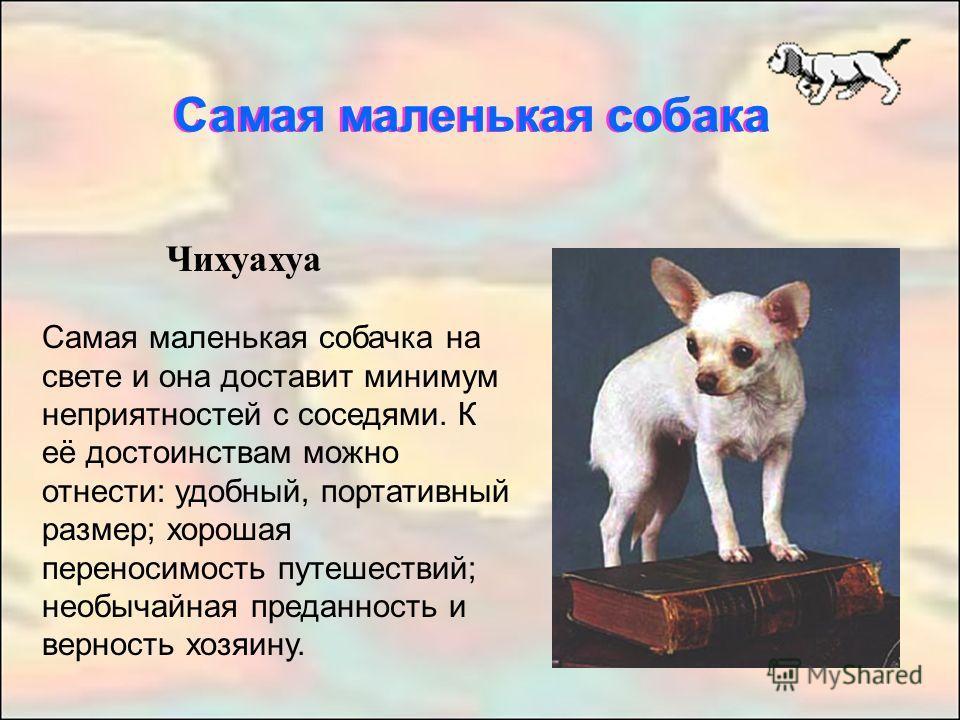 Чихуахуа Самая маленькая собачка на свете и она доставит минимум неприятностей с соседями. К её достоинствам можно отнести: удобный, портативный размер; хорошая переносимость путешествий; необычайная преданность и верность хозяину. Самая маленькая со