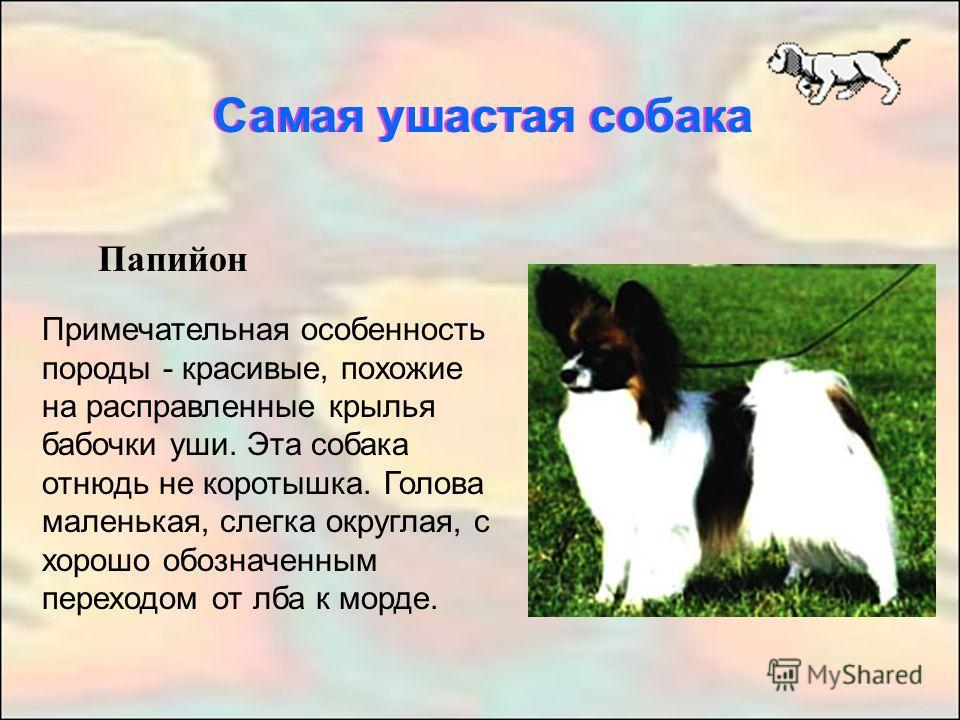 Самая ушастая собака Папийон Примечательная особенность породы - красивые, похожие на расправленные крылья бабочки уши. Эта собака отнюдь не коротышка. Голова маленькая, слегка округлая, с хорошо обозначенным переходом от лба к морде. Самая ушастая с