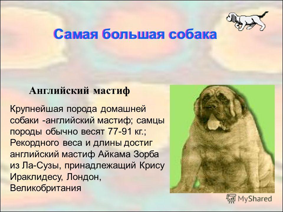 Английский мастиф Крупнейшая порода домашней собаки -английский мастиф; самцы породы обычно весят 77-91 кг.; Рекордного веса и длины достиг английский мастиф Айкама Зорба из Ла-Сузы, принадлежащий Крису Ираклидесу, Лондон, Великобритания Самая больша
