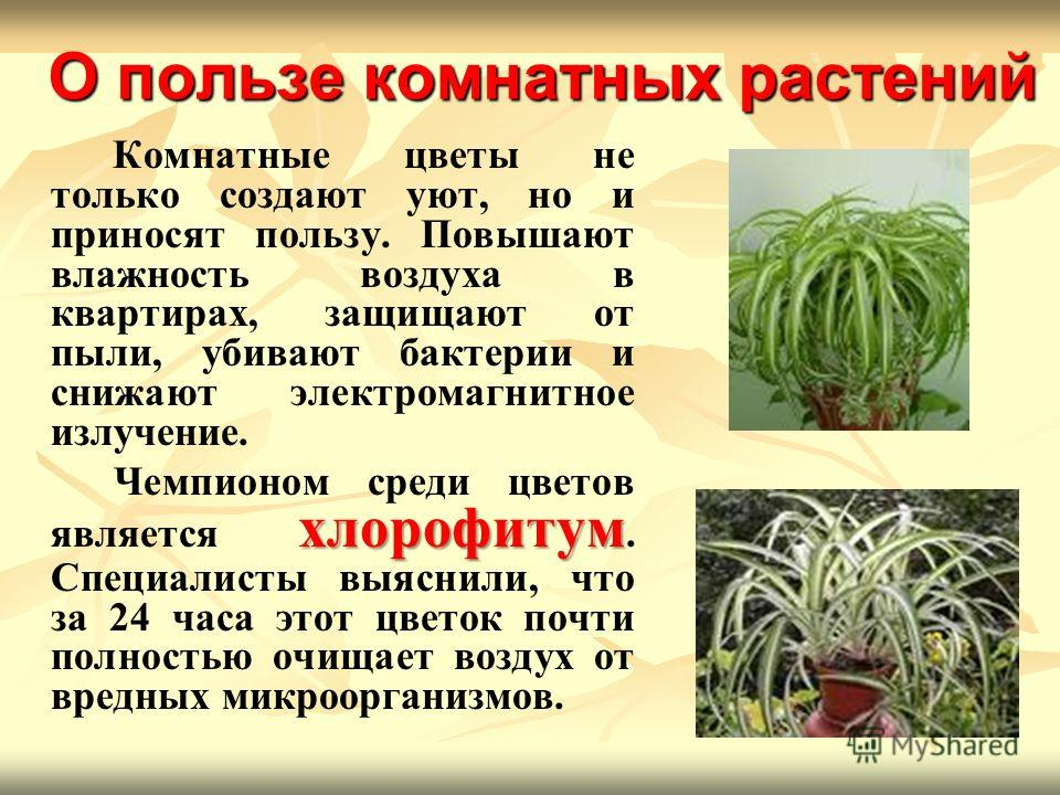 О пользе комнатных растений Комнатные цветы не только создают уют, но и приносят пользу. Повышают влажность воздуха в квартирах, защищают от пыли, убивают бактерии и снижают электромагнитное излучение. хлорофитум Чемпионом среди цветов является хлоро
