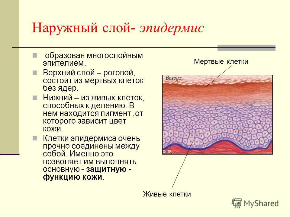 Наружный слой- эпидермис образован многослойным эпителием. Верхний слой – роговой, состоит из мертвых клеток без ядер. Нижний – из живых клеток, способных к делению. В нем находится пигмент,от которого зависит цвет кожи. Клетки эпидермиса очень прочн