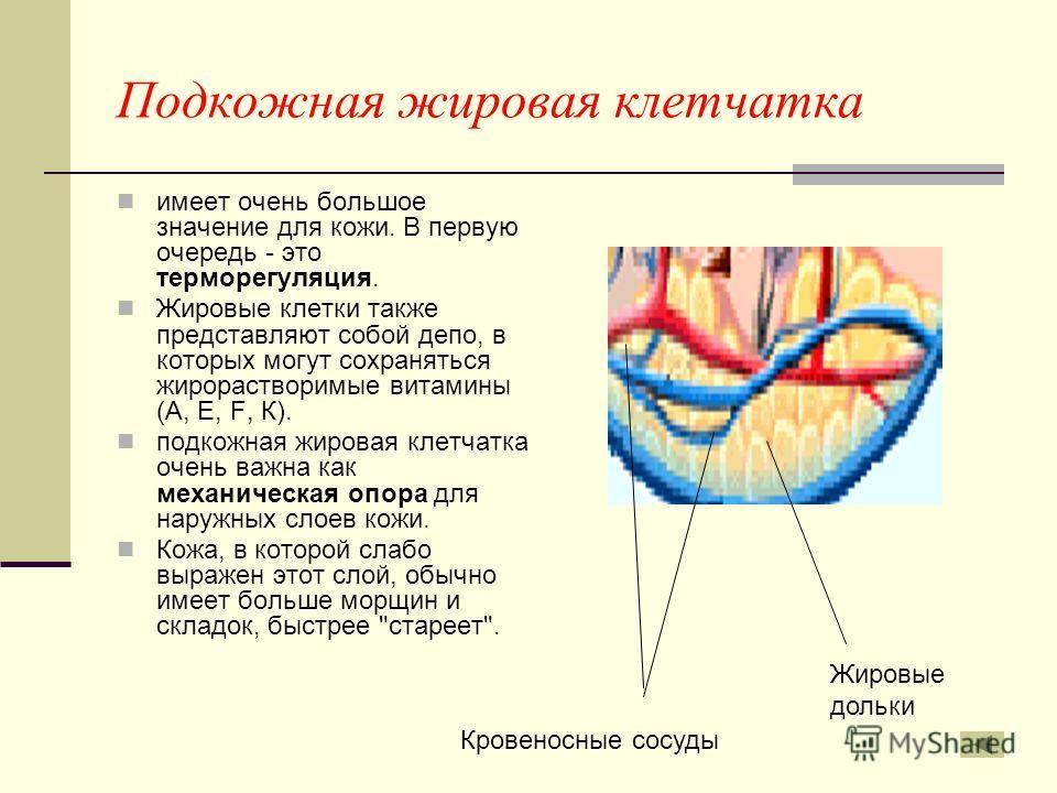 Подкожная жировая клетчатка имеет очень большое значение для кожи. В первую очередь - это терморегуляция. Жировые клетки также представляют собой депо, в которых могут сохраняться жирорастворимые витамины (А, Е, F, К). подкожная жировая клетчатка оче
