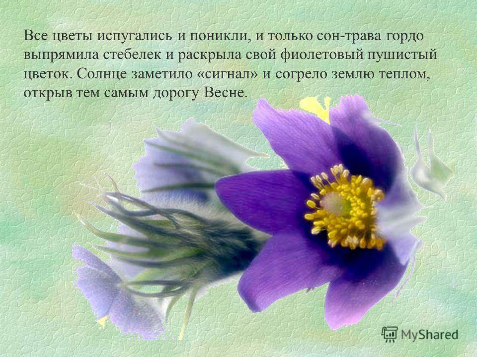 Все цветы испугались и поникли, и только сон-трава гордо выпрямила стебелек и раскрыла свой фиолетовый пушистый цветок. Солнце заметило «сигнал» и согрело землю теплом, открыв тем самым дорогу Весне.
