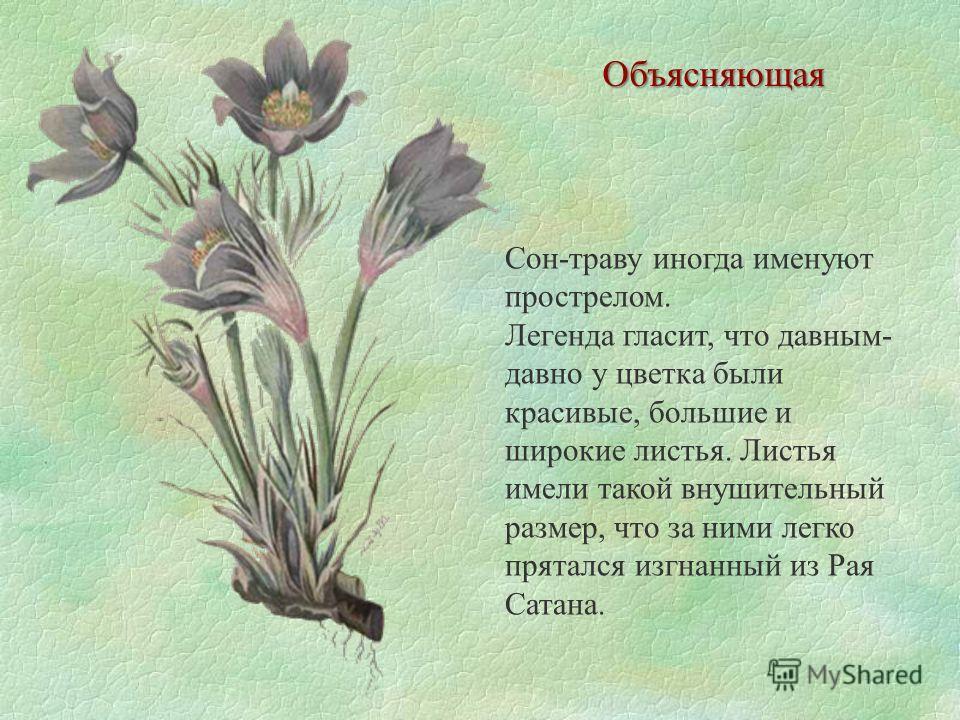 Объясняющая Сон-траву иногда именуют прострелом. Легенда гласит, что давным- давно у цветка были красивые, большие и широкие листья. Листья имели такой внушительный размер, что за ними легко прятался изгнанный из Рая Сатана.