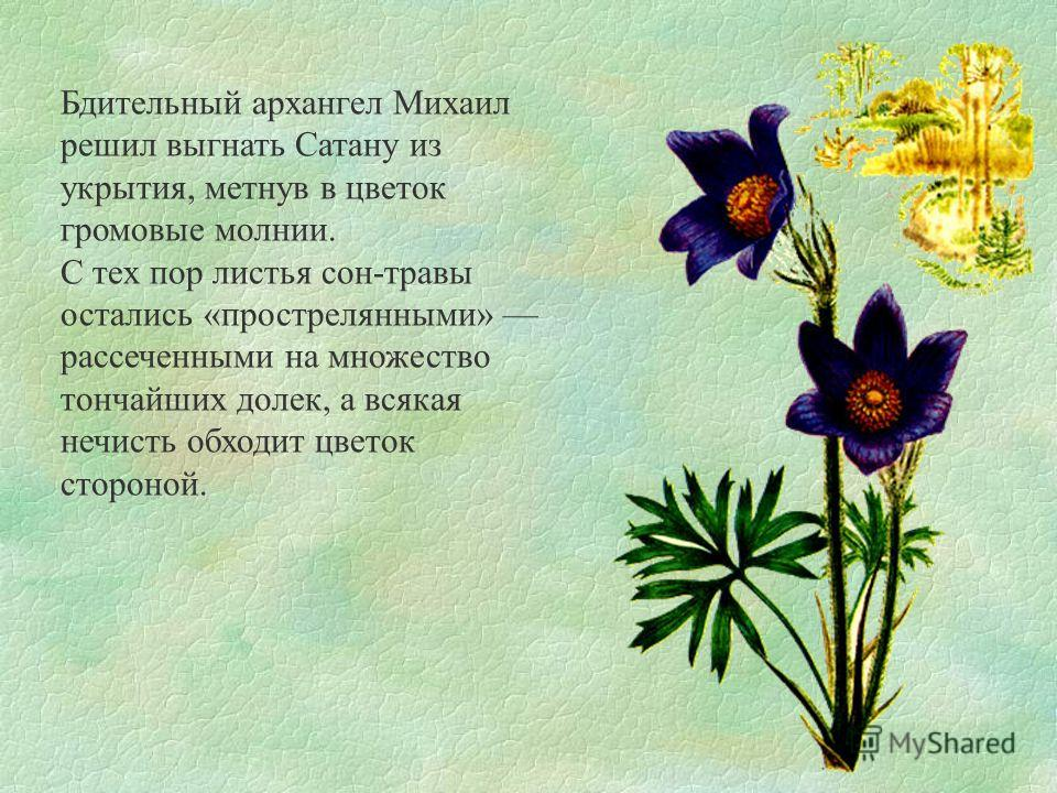 Бдительный архангел Михаил решил выгнать Сатану из укрытия, метнув в цветок громовые молнии. С тех пор листья сон-травы остались «прострелянными» рассеченными на множество тончайших долек, а всякая нечисть обходит цветок стороной.