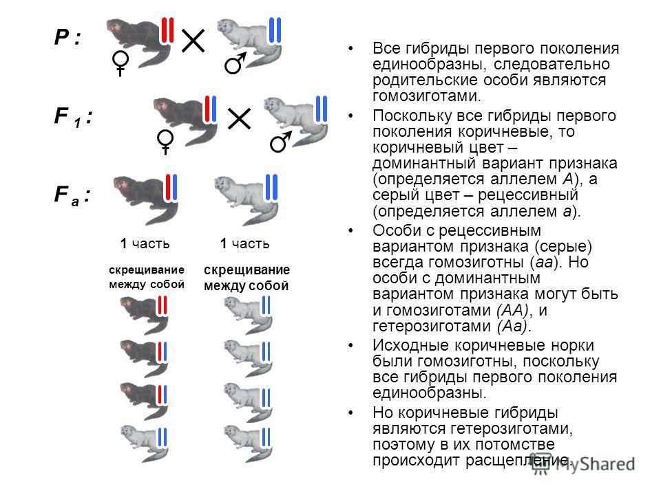 Все гибриды первого поколения единообразны, следовательно родительские особи являются гомозиготами. Поскольку все гибриды первого поколения коричневые, то коричневый цвет – доминантный вариант признака (определяется аллелем А), а серый цвет – рецесси