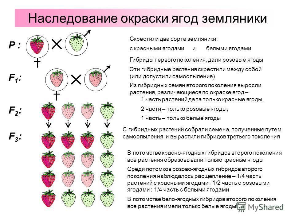 Наследование окраски ягод земляники P : F1:F1: F2:F2: F3:F3: с красными ягодами Эти гибридные растения скрестили между собой (или допустили самоопыление) Гибриды первого поколения, дали розовые ягоды Из гибридных семян второго поколения выросли расте