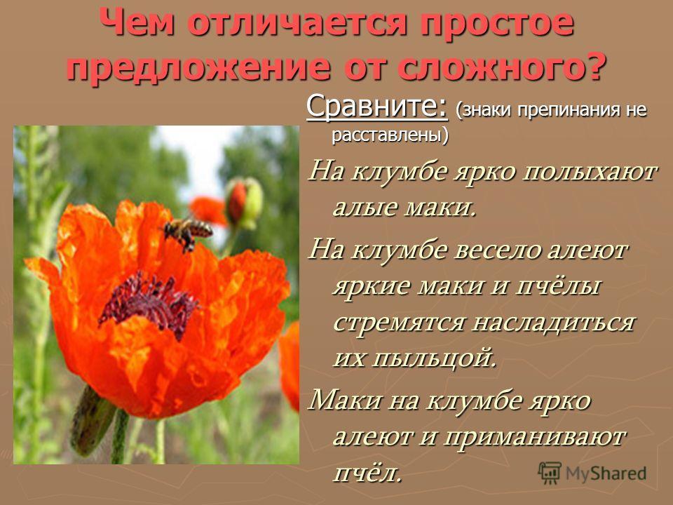 Чем отличается простое предложение от сложного? Сравните: (знаки препинания не расставлены) На клумбе ярко полыхают алые маки. На клумбе весело алеют яркие маки и пчёлы стремятся насладиться их пыльцой. Маки на клумбе ярко алеют и приманивают пчёл.