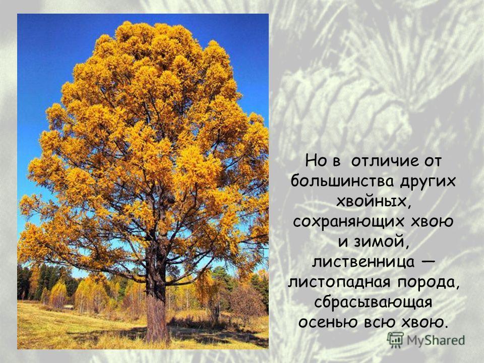 Но в отличие от большинства других хвойных, сохраняющих хвою и зимой, лиственница листопадная порода, сбрасывающая осенью всю хвою.