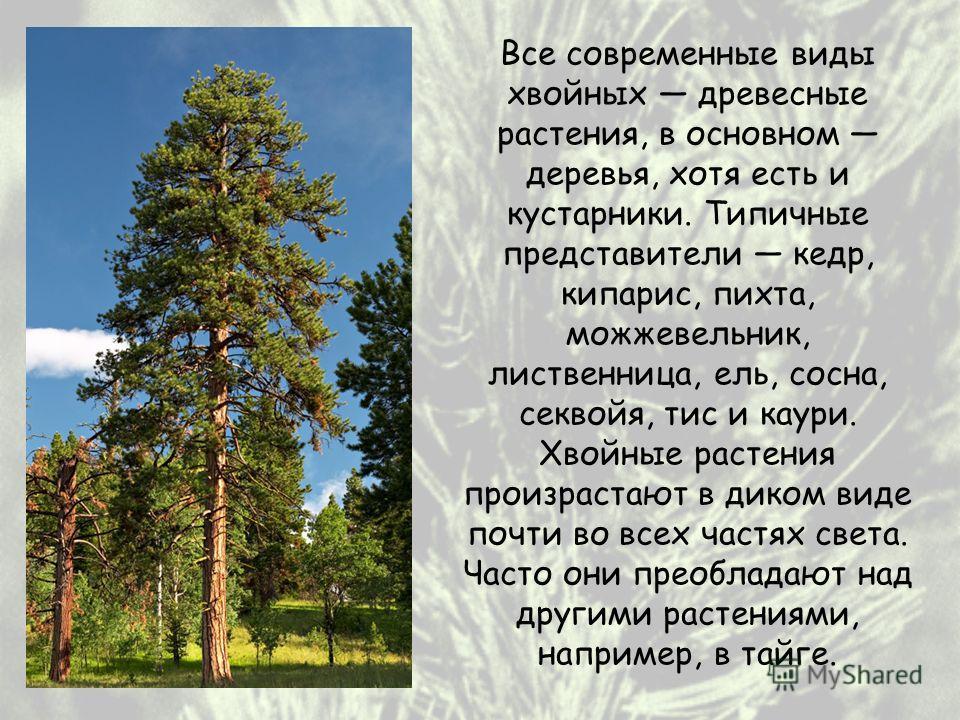 Все современные виды хвойных древесные растения, в основном деревья, хотя есть и кустарники. Типичные представители кедр, кипарис, пихта, можжевельник, лиственница, ель, сосна, секвойя, тис и каури. Хвойные растения произрастают в диком виде почти во