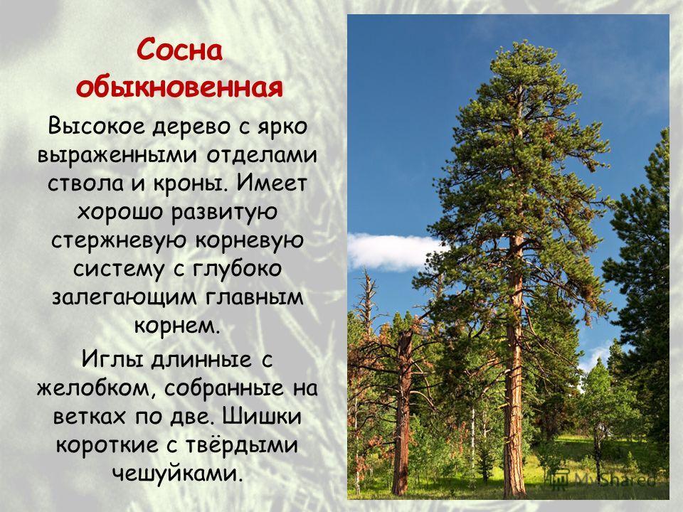 Сосна обыкновенная Высокое дерево с ярко выраженными отделами ствола и кроны. Имеет хорошо развитую стержневую корневую систему с глубоко залегающим главным корнем. Иглы длинные с желобком, собранные на ветках по две. Шишки короткие с твёрдыми чешуйк